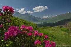 Image de printemps en Savoie. (yves floret) Tags: savoie hautemaurienne montcenis fleurs rhododendrons montagne lac ciel nuages ombres