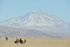 Llamas and Andes (Ruby 2417) Tags: llama animal wildlife nature herd andes volcano mountain desert atacama