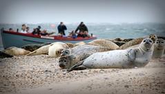 Blakeney Point (plot19) Tags: nikon now northfolk seals boat photography plot19 people england english uk britain british coast sand sea seaside seascape landscape love