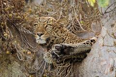Princess Kazuri (rickdunlap2) Tags: leopard female maasaimara kenya africa nature wildlife bigcat safari animal