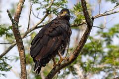 Common Black-Hawk (Mario Arana G) Tags: 7d ave bird birding cr canon commonblackhawk costarica florayfauna guanacaste marioarana nature naturephotography photography wildlife wildlifecostarica