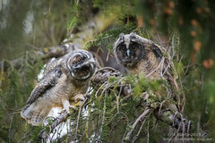 Long-eared owl (erikkarits) Tags: longeared owl asio otus young tree portrait