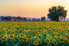 Due East (optimalfocusphotography) Tags: northerncalifornia trees usa yolocounty sunset nature sacramento landscape summer california sunflowers