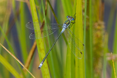 Emerald Damselfly (keith.gallie) Tags: emerald damselfly odonata warrington cheshire