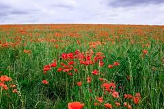 Poppy Field (Nessy Samuel Photography) Tags: nessysamuelphotography uk england flora flower tourist travel buckinghampshire poppyfield