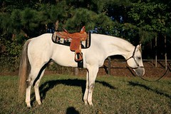 Stallion by 5-time AQHA World Champion (horsewebpr) Tags: horse horses horsesforsale horseweb stallion quarter south carolina usa