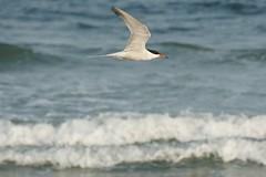 Common tern (arielfischer) Tags: tern sternacomune sternepierregarin sternahirundo flusseeschwalbe charráncomún andorinhadomarcomum trintaréisboreal речнаякрачка