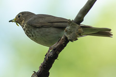 Forest Feathered Friend (Ken Krach Photography) Tags: glaciernationalpark bird