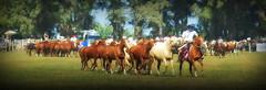 La baya y los alazanes (Eduardo Amorim) Tags: cavalos caballos horses chevaux cavalli pferde caballo horse cheval cavallo pferd cavalo cavall tropilla tropilha herd tropillas tropilhas 馬 حصان 马 лошадь crioulo criollo crioulos criollos cavalocrioulo cavaloscrioulos caballocriollo caballoscriollos ayacucho provinciadebuenosaires buenosairesprovince argentina sudamérica südamerika suramérica américadosul southamerica amériquedusud americameridionale américadelsur americadelsud eduardoamorim gaucho gauchos gaúcho gaúchos