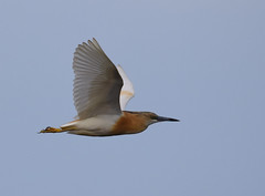 Squacco Heron (Ardeola ralloides) (fuzzballmaster) Tags: turkey sultansazligi wetland squacco heron ardeola ralloides