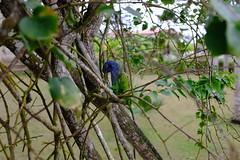 DSCF3677 Papagayo en Olón (jmoravec) Tags: parrot papagayo