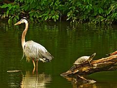 Great Blue Heron & Red Eared Slider (Photos by the Swamper) Tags: bird wadingbird heron grreatblueheron reptile turtle redearedslider