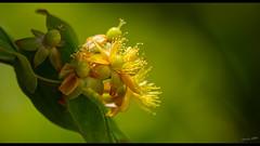Proxy 630 (Alexandre LAVIGNE) Tags: format1851 hdpentaxdfa150450mm hdpentaxdaaf14xaw pentaxk1 2019 ambiance arbuste fleurs jaune k1 lumière nature plante vert saintwitz valdoise france