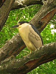 Adult Black Crowned Night Heron (Photos by the Swamper) Tags: birds herons nightheron blackcrownednightheron
