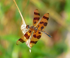 A Beautiful Male Halloween Pennant (Eat With Your Eyez) Tags: park county ohio red plant green halloween nature grass animal bug insect outdoors fly flying leaf wings pond eyes legs dragonfly bokeh body head flight wing panasonic medina markings pennant fz1000