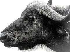 CAPE BUFFALO (eliewolfphotography) Tags: capebuffalo buffalo africa ngorongoro tanzania safari safariphotography wildlife