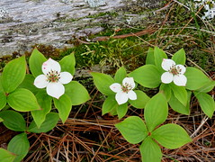 Canadian dogwood (yooperann) Tags: wildflowers white driftwood july summer marquette upper peninsula michigan songbird trail