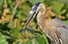 Look on the sunny side (Shannon Rose O'Shea) Tags: shannonroseoshea shannonosheawildlifephotography shannonoshea shannon greatblueheron heron bird beak feathers yelloweye leaves bokeh canal fish fishing catchoftheday bluegill sunny lepomismacrochirus nature wildlife waterfowl closeup close colorful colourful colors colours wildwoodlake harrisburg pennsylvania outdoors outdoor outside flickr wwwflickrcomphotosshannonroseoshea smugmug art photo photography photograph wild wildlifephotography wildlifephotographer wildlifephotograph femalephotographer girlphotographer womanphotographer shootlikeagirl shootwithacamera throughherlens thl trees camera canon canoneos80d canon80d canon100400mm14556lisiiusm eos80d eos 80d 80dbird canon80d100400mmusmii 2019 canongirl birdphotographer naturephotographer ardeaherodias