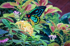Priam's Birdwing (Stephen G Nelson) Tags: insect butterfly birdwing priamsbirdwing botanicalgarden tucson arizona