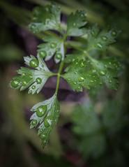 Raindrops on Parsley (Explored) (lclower19) Tags: leaves rain drops wet green closeup macro odc parsley explored