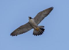 Peregrine Falcon (Falco peregrinus) (mesquakie8) Tags: bird falcon sittingonthenewstowerbuildingorflying adultmale namedlilkool bandp54 peregrinefalcon falcoperegrinus pefa rockford winnebagocounty illinois 2200