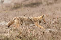 Coyote #146 (lennycarl08) Tags: coyote animalplanet wildlife pointreyesnationalseashore