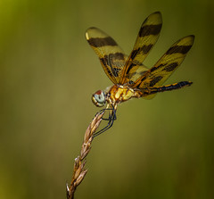 Percher (Portraying Life, LLC) Tags: cropapsc da3004 hd14tc k1mkii michigan pentax ricoh topazaiclear unitedstates closecrop handheld nativelighting dragonfly meadow summer percher