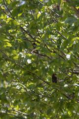 IMG_2177 (armadil) Tags: ardenwoodhistoricfarm bird birds ardenwood fremont birdswithgreenbackground waxwing waxwings cedarwaxwing cedarwaxwings