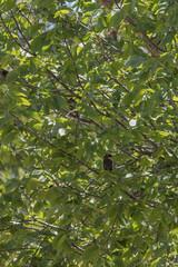 IMG_2178 (armadil) Tags: ardenwoodhistoricfarm bird birds ardenwood fremont birdswithgreenbackground waxwing waxwings cedarwaxwing cedarwaxwings
