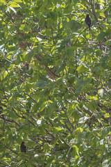 IMG_2180 (armadil) Tags: ardenwoodhistoricfarm bird birds ardenwood fremont birdswithgreenbackground waxwing waxwings cedarwaxwing cedarwaxwings