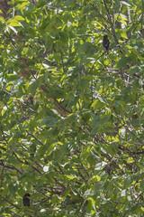 IMG_2179 (armadil) Tags: ardenwoodhistoricfarm bird birds ardenwood fremont birdswithgreenbackground waxwing waxwings cedarwaxwing cedarwaxwings