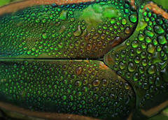 dew covered June Bug (hennessy.barb) Tags: insect bug junebug dewcovered metallic shiny wet barbhennessy nature naturallyartistic