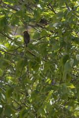 IMG_2162 (armadil) Tags: ardenwoodhistoricfarm bird birds ardenwood fremont birdswithgreenbackground waxwing waxwings cedarwaxwing cedarwaxwings