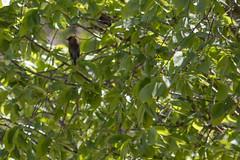 IMG_2163 (armadil) Tags: ardenwoodhistoricfarm bird birds ardenwood fremont birdswithgreenbackground waxwing waxwings cedarwaxwing cedarwaxwings