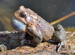 DSC_0245p1 (Andy961) Tags: springfield virginia va hiddenpond park parks frog frogs