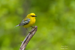 Blue Winged Warbler (Jamie Lenh Photography) Tags: nature wildlife birds warblers bluewingedwarbler nikon tamron spring ontario canada yellow blue jamielenh