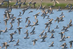 Flock of Western Sandpipers (Calidris mauri), Alexandre Dairy, Crescent City, Del Norte Co., CA (Gil Ewing) Tags: shorebird scolopacidae peep flock flight