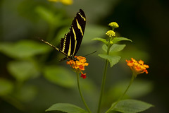 Tiger butterfly (Princess Ruto) Tags: butterfly tigerbutterfly yellow stripes bronxzoo insect