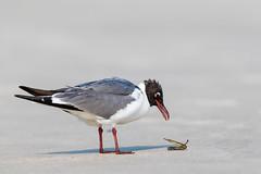 David & Goliath (rob.wallace) Tags: summer 2019 laughing gull needlefish jersey shore