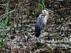 Great Blue Heron  IMG_4959 (PRS North Star) Tags: herons greatblueherons