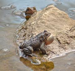 DSC_0276p1 (Andy961) Tags: springfield virginia va hiddenpond park parks frog frogs