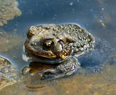 DSC_0315p1 (Andy961) Tags: springfield virginia va hiddenpond park parks frog frogs