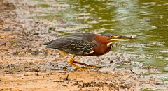Green Heron (deanrr) Tags: greenheron morgancountyalabama alabama bird feathers water nature outdoor wildlife