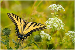 Western Tiger Swallowtail 8056 (maguire33@verizon.net) Tags: swallowtail tigerswallowtail westerntigerswallowtail butterfly insect wildlife chino california unitedstatesofamerica