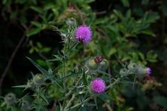 *** (Julysha) Tags: twiske summer july 2019 thenetherlands noordholland insects flowers d850 sigma241054art acr