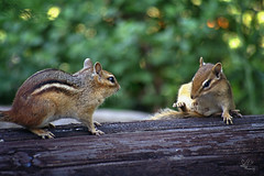 Getting Ready For Round Two (NikonNatureGal1357) Tags: wild life chipmunks garden woodland creatures momma young green foliage railroad ties small creature zoom lens minolta camera digital 7d cny photographer lexypage photography syracuse new york