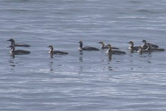 Flock of Pacific Loons (Gavia pacifica), Crescent City, Del Norte Co., CA (Gil Ewing) Tags: gaviidae flock