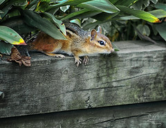 Under Cover Safety (NikonNatureGal1357) Tags: wild life chipmunks garden woodland creatures momma young green foliage railroad ties small creature zoom lens minolta camera digital 7d cny photographer lexypage photography syracuse new york