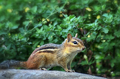 Profiling (NikonNatureGal1357) Tags: wild life chipmunks garden woodland creatures momma young green foliage railroad ties small creature zoom lens minolta camera digital 7d cny photographer lexypage photography syracuse new york