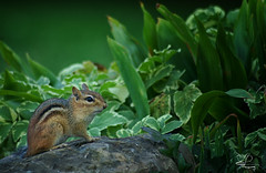 It's a Great Big World (NikonNatureGal1357) Tags: wild life chipmunks garden woodland creatures momma young green foliage railroad ties small creature zoom lens minolta camera digital 7d cny photographer lexypage photography syracuse new york